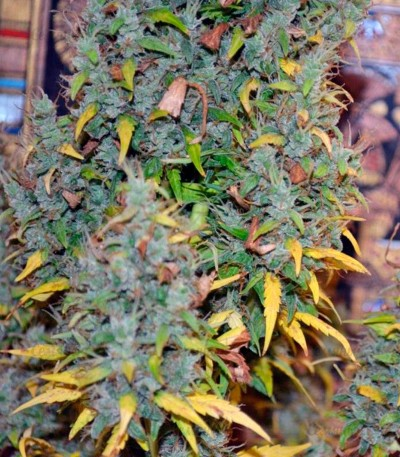 Семена сорта Auto Nefertiti fem (Pyramid Seeds)